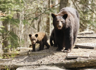 Bear, Black Bear, Black Bear iowa, Black Bear clayton county iowa, black bear and cubs sighted in iowa since 200 years, first black bears sighted in Iowa in 200 years, Black Bear Cubs, Black Bear Cubs photo, A mother bear and cubs on a log pile, Black Bear With Cubs on a Wood Pile
