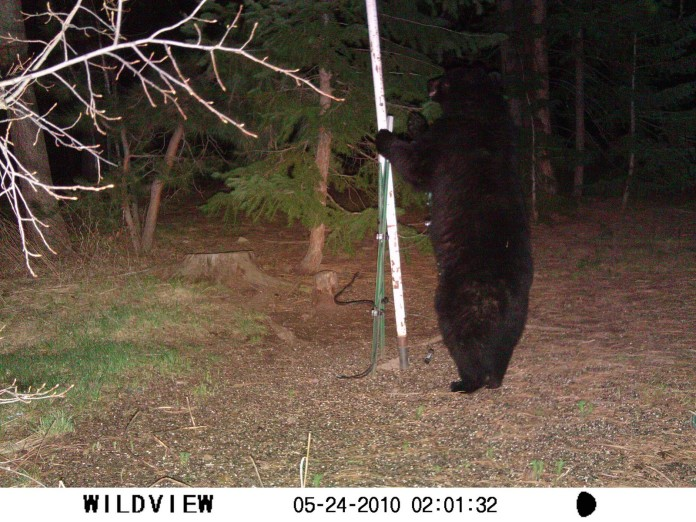 bear walks upright, bear walks upright, bear walks on back legs, video of bear walking upright, bear walks upright video, standing bear walks video, video of standing bear walking, bear wlaks like a human video, video of a bear walking like a human, Strange Animal Behavior: Bipedal Bear? Why Does This Bear Walk Upright?, This bear stands upright. In the video, the bear is also standing upright and walks like a huma on its back legs! Amazing!