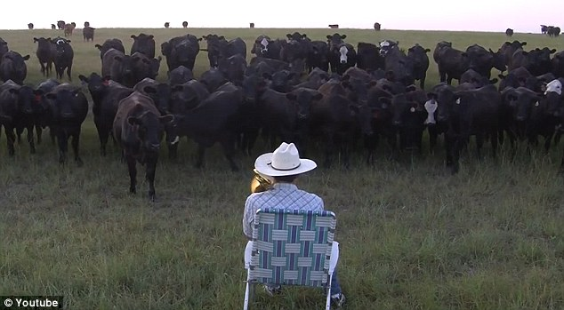 farmer plays music for cow, farmer lures cows with trombone music, kansas farmer attracts cattle with music video, cows love music, Cow chorus, cow loves music, cows understand music, cow recognize music, The Pied Piper of Kansas! Trombone-playing farmer lures his cattle with upbeat tunes... and proves even bovines love Lorde.