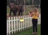 dancing elephant, elephant dancing on violin, elephant violin dance, elephant dance to violin sound, elephant violin dance, Kelly and Viola are two elephants living at the Circus World Museum in Baraboo. And they dance to the sound of violin. Photo: Youtube video, elephant dansent sur du violon, elephant danse violon, elephant danse sur du violon