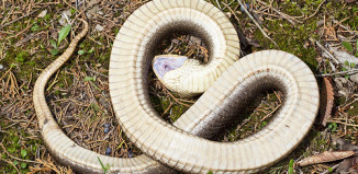 Hognose playing dead! Amazing snake behavior, snakes, playing dead, snakes playing dead, dead snake, strange animal behavior, animal behavior, weird animal behavior, Hognose playing dead! Amazing snake behavior. Photo: Youtube video