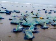 jellyfish die-off california, jellyfish mass die-off california, Thousands of blue jellyfish called Velella Velellas wash ashore in California. Photo: Facebook, Velella Velella Washing Up, Sea Creatures California Beach, Velella Velella, Velella Wash Up, Velella Velella California, Velella California, Velella Velella Wash Ashore, Blue Sea Creatures, ADW: Velella velella: INFORMATION, What are those brilliant blue creatures washing up on California, What are those brilliant blue creatures washing up on California beaches?, Purple jellyfish wash ashore by the thousands on Oregon beaches, Millions of jellyfish-like creatures wash up on Oregon beaches, Thousands of Blue Sea Creatures Wash Up on Local California Beaches, Jellyfish wash up on beach: 'We had people call them in as an oil spill' Another Life: By-the-wind
