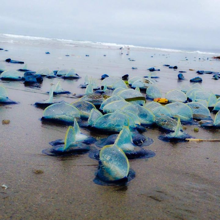 jellyfish die-off california, jellyfish mass die-off california, Thousands of blue jellyfish called Velella Velellas wash ashore in California. Photo: Facebook, Velella Velella Washing Up, Sea Creatures California Beach, Velella Velella, Velella Wash Up, Velella Velella California, Velella California, Velella Velella Wash Ashore, Blue Sea Creatures, ADW: Velella velella: INFORMATION,  What are those brilliant blue creatures washing up on California,  What are those brilliant blue creatures washing up on California beaches?,  Purple jellyfish wash ashore by the thousands on Oregon beaches,  Millions of jellyfish-like creatures wash up on Oregon beaches,  Thousands of Blue Sea Creatures Wash Up on Local California Beaches,  Jellyfish wash up on beach: 'We had people call them in as an oil spill'  Another Life: By-the-wind, Velella Velella die off, Velella Velella, Velella Velella jellyfish, Velella Velella mass die-off california july 2014, jellyfish die off california july 2014, jellyfish die-off california,