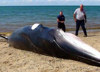 minke whale, whale stranding, whale stranding usa, minke whale cape cod, minke whale strandings cape cod august 2014,This minke whale stranded on Cape Cod beach on Monday 18, 2014. Photo: David G. Curran/Boston.com