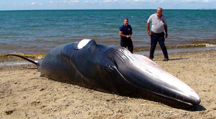 minke whale, whale stranding, whale stranding usa, minke whale cape cod, minke whale strandings cape cod august 2014,This minke whale stranded on Cape Cod beach on Monday 18, 2014. Photo: David G. Curran/Boston.com