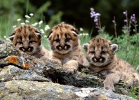 mountain lion, mountain lion cub, mountain lion cubs, mountain lion sound, mountain lion scream, strange feline sound, strange sound in the forest, creepy animal sound, weird animal sound, terrifying animal sound, Are these cute mountain lion cubs making this terrifying scream? Photo: all-free-download.com