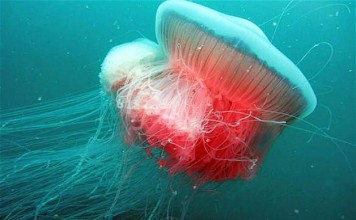 Giant jellyfish spotted in the Adriatic for first time since Second World War, mysterious giant jellyfish, mysterious giant jellyfish discovered in the adriatic, rara mysterious jellyfish italy august 2014, mysterious giant sea creature discovered in Adriatic august 2014, mysterious jellyfish discovered in adriatic, adriatic sea monster august 2014, deep sea creature discovered in adriatic august 2014, mysterious giant jellyfish spotted in Italy