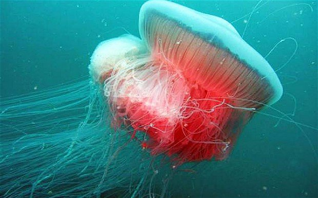Giant jellyfish spotted in the Adriatic for first time since Second World War, mysterious giant jellyfish, mysterious giant jellyfish discovered in the adriatic, rara mysterious jellyfish italy august 2014, mysterious giant sea creature discovered in Adriatic august 2014, mysterious jellyfish discovered in adriatic, adriatic sea monster august 2014, deep sea creature discovered in adriatic august 2014, mysterious giant jellyfish spotted in Italy, Mysterious Giant Jellyfish re-emergences in Italy after 70 years of absence. Is it linked to climate change?, climate change, jellyfish, mysterious creature, strange sea creature, deep sea creature, photo, video