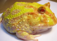 Pacman frog, Pacman frog photo, photo of Pacman frog, animal sound, animal sound frog, frog noise, fun frog noise, pacman frog noise video, animal sounds: pacman frog noise video, Pacman frog video, Pacman frog sound, Pacman frog cry, strange sound of frog, , Pacman frog sound, frog sound, Pacman frogs, South American horned frogs Pacman frogs, Photo of Ceratophrys ornata (Pacman Frog). Photo: Wikipedia