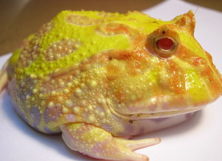 Pacman frog, Pacman frog photo, photo of Pacman frog, animal sound, animal sound frog, frog noise, fun frog noise, pacman frog noise video, animal sounds: pacman frog noise video, Pacman frog video, Pacman frog sound, Pacman frog cry, strange sound of frog, , Pacman frog sound, frog sound, Pacman frogs, South American horned frogs Pacman frogs, Photo of Ceratophrys ornata (Pacman Frog). Photo: Wikipedia