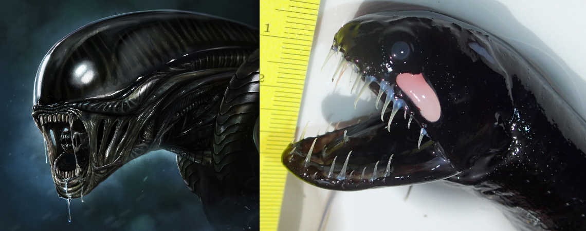 Dragonfish, terrifying deep sea creature, Deep Sea Dragonfish, scaleless dragonfish, deep-sea fish, strange deep sea fish, photo, discover strange deep-sea creatures: dragonfish, Black Dragonfish, A photo compilation of this creepy black scaleless dragonfish also known as the deep sea dragonfish. Photo: The soul is bone, Look at these teeth of the scaleless dragonfish! Nightmarish! Photo: IMGUR, At the end of its barbel as well as all along its body, the deep sea dragonfish has photophore for bioluminescence. Photo: IMGUR, This rather small deep ocean fish has huge teeth to better eat you up! Photo: IMGUR, Alien creature vs scaleless dragonfish. We now know the model to make the Alien monster. Photo: IMGUR