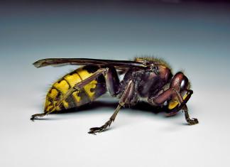European hornet, European hornet nest, nest of European hornet, European hornets, European hornet photo, European hornets photo, Photo of a female European hornet. Almost 7/8 of an inch long! Photo: Wikipedia