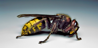 European hornet, European hornet nest, nest of European hornet, European hornets, European hornet photo, European hornets photo, Photo of a female European hornet. Almost 7/8 of an inch long! Photo: Wikipedia