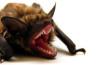 Rabid Bat, Rabid Bat attack, Rabid Bat attack video, video rabid bat attack, bat attack video, A rabid bat attacked a camper in Oregon.