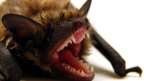 Rabid Bat, Rabid Bat attack, Rabid Bat attack video, video rabid bat attack, bat attack video, A rabid bat attacked a camper in Oregon.