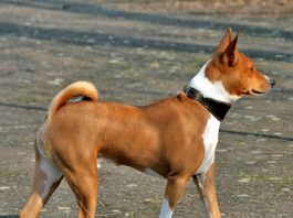 basenji bark, basenji bark audio, basenji bark video