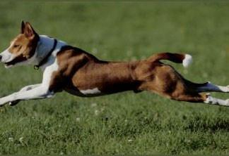 basenji dog, basenji, basenji dog sound, basenji dog barkless, basenji dog bark, basenji dog strange sound, basenji noise, The basenji dog howl