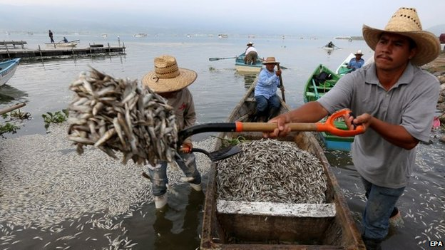 fish mass die-off, fish kill, mysterious fish kill jalisco mexico, fish mass die-off mexico, fish mass die-off mexico jalisco, fish mass die-off mexico lake cajititlan, Fifty tons of fish have washed up dead on the shores of Jalisco's Lake Cajititlan in Mexico. Photo: EPA, Imagine the health disaster and smell if all these fish would start to decay on the shore of Jalisco's Lake Cajititlan!, mass die-off, fish kill, fish mass die-off, mexico, jalisco, lake cajititlan, september 2014, photo