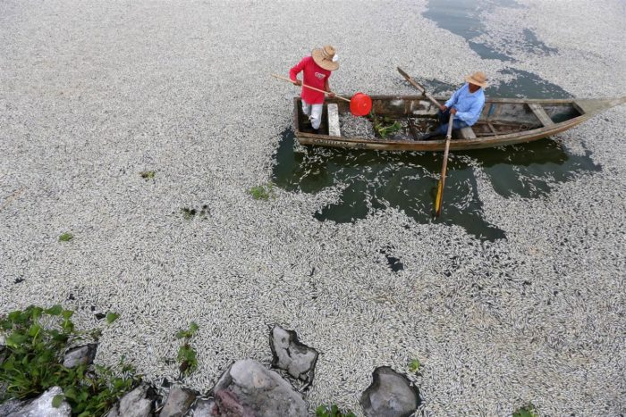 fish mass die-off, fish kill, mysterious fish kill jalisco mexico, fish mass die-off mexico, fish mass die-off mexico jalisco, fish mass die-off mexico lake cajititlan, Fifty tons of fish have washed up dead on the shores of Jalisco's Lake Cajititlan in Mexico. Photo: EPA, mass die-off, fish kill, fish mass die-off, mexico, jalisco, lake cajititlan, september 2014, photo