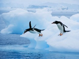 gentoo penguin, gentoo penguins sound, penguin sounds, gentoos, gentoo penguins, gentoo penguins photo, Gentoo penguins jumping from iceberg in Antarctica. Photo: National Geographic