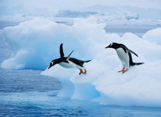 gentoo penguin, gentoo penguins sound, penguin sounds, gentoos, gentoo penguins, gentoo penguins photo, Gentoo penguins jumping from iceberg in Antarctica. Photo: National Geographic