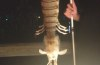 giant shrimp, giant shrimp florida, giant mantis shrimp florida, mantis shrimp photo, giant mantis shrimp florida september 2014, A fisherman caught a montrous giant creature from a pier in Florida. Photo: Steve Bargeron