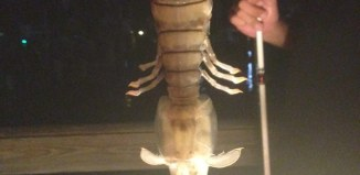giant shrimp, giant shrimp florida, giant mantis shrimp florida, mantis shrimp photo, giant mantis shrimp florida september 2014, A fisherman caught a montrous giant creature from a pier in Florida. Photo: Steve Bargeron