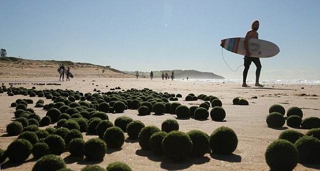 oddity, algae, alien balls algae, mysterious alien balls, unknown algae phenomenon, round algae, alien egg algae, What are these mysterious alien balls that washed on Sydney's beach?
