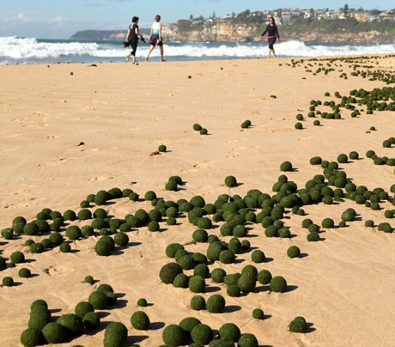 oddity, algae, alien balls algae, mysterious alien balls, unknown algae phenomenon, round algae, alien egg algae, What are these mysterious alien balls that washed on Sydney's beach?, These green balls are most probably a rare sponge-like organism. It is however unknown why they form egg balls!