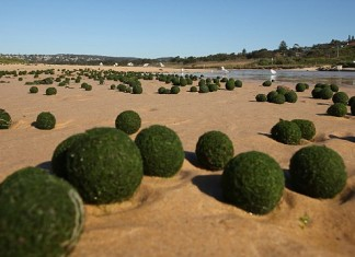 These mystery balls look like real aliens eggs!, oddity, algae, alien balls algae, mysterious alien balls, unknown algae phenomenon, round algae, alien egg algae, What are these mysterious alien balls that washed on Sydney's beach?, These green balls are most probably a rare sponge-like organism. It is however unknown why they form egg balls!