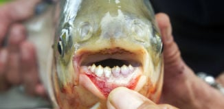 pacu fish, pacu, pacu fish photo, testicle-biting fish, pacu fish testicule, pacu fish photo, The human-like teeth of the pacu fish. Photo: Wikipedia