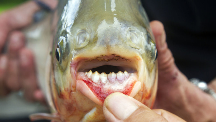 pacu fish, pacu, pacu fish photo, testicle-biting fish, pacu fish testicule, pacu fish photo, The human-like teeth of the pacu fish. Photo: Wikipedia