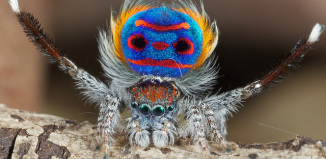 peacock spider, peacock spider photo, peacock spider video, peacock spider image, peacock spider picture, amazing spider, amazing coastal peacock spider, coastal peacock spider photo, A beautiful picture of the Australian peacock spider by Jurgen Otto