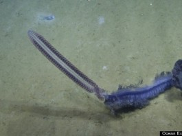 siphonophore, siphonophore photo, purple siphonophore, purple siphonophore photo, rare deep-sea creature, weird deep sea creature, deep sea creature: purple siphonophore, Rare and unusual deep-sea purple siphonophore caught live on video. Photo: Nautilus Live Youtube video