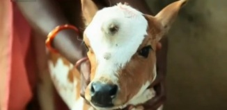three-eyed cow, three-eyed calf, three-eyed cow india, three-eyed calf india, A three-eyed calf is born in India. The cow is worshipped as reincarnation of Hindu god Shiva. Photo: Youtube screenshot