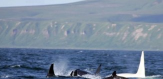 white orca kurils island, white orca russia, albino orca, scientists spot white orca in ruissia. russia white orca, white orca russia photo, Russian Orca