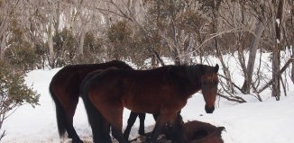 animal cannibalism, animal cannibal, cannibalism by horses, cannibal horses, Two starving Australian wild horses are eating one of their owns in the snowy mountains.