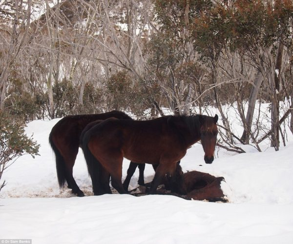 animal cannibalism, animal cannibal, cannibalism by horses, cannibal horses, Two starving Australian wild horses are eating one of their owns in the snowy mountains., animal behavior, strange animal behavior, cannibal, animal cannibal, horse cannibal, starving horses