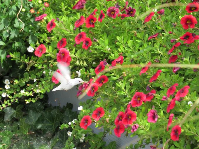 albino hummingbird, albino hummingbird photo, albino hummingbird pictures, white hummingbird, albino hummingbird photo, albino hummingbird usa photo, albino hummingbird october 2014 photo, albino hummingbird maine 2014