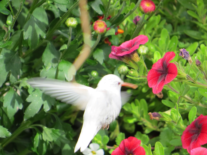 albino hummingbird, albino hummingbird photo, albino hummingbird pictures, white hummingbird, albino hummingbird photo, albino hummingbird usa photo, albino hummingbird october 2014 photo, albino hummingbird maine 2014
