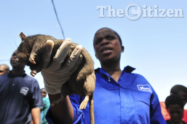 Alexandra's rats are attacking homeless people, children and even killed a baby last month., rat alexandra, rat plague alexandra, rat infestation johannesburg, rat infestation alexandra South Africa, Giant rats terrorizing inhabitants og Alexandra in Johannesburg, South Africa, The City of Johannesburg has introduced barn owls in Alexandra to control the growing rat population