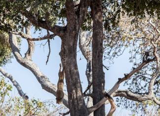leopard dive, leopard hunt from tree, leopard jumps from tree impala, leopard dives from tree on impala, leopard hunt impala video, video leopard hunting, leopard jumsp from tree on impala, video leopard hunting, hunting leopard video, A female leopard jumps from a tree onto an impala in Botswana (VIDEO AND PHOTOS)