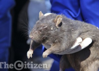 rat alexandra, rat plague alexandra, rat infestation johannesburg, rat infestation alexandra South Africa, Giant rats terrorizing inhabitants og Alexandra in Johannesburg, South Africa