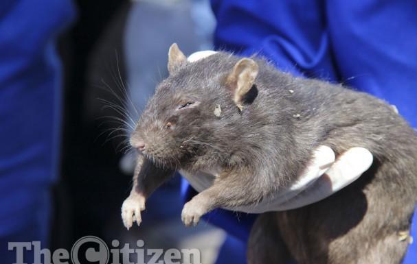 rat alexandra, rat plague alexandra, rat infestation johannesburg, rat infestation alexandra South Africa, Giant rats terrorizing inhabitants og Alexandra in Johannesburg, South Africa