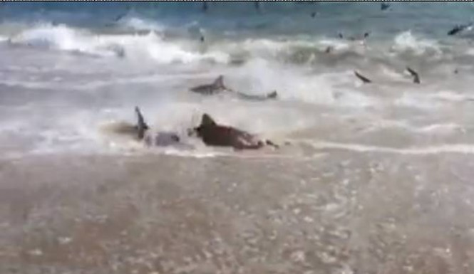 shark feeding frenzy NC video, shark, shark attack sharknado, hundreds of sharks in a feeding frenzy, shark feeding frenzy video, video shark feeding, video shark attack, attack of shar video, shark hunting video, shark fishing video, shark video NC, NC shark video, NC shark feeding frenzy