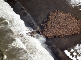 Alarming: 35'000 walrus stranded on Alaska Point Lay because of global warming and sea ice loss. Photo, NOAA, 35000 walrus alaska, 35000 walrus alaska onshore, 35000 walrus alaska washed ashore, 35000 walrus alaska stranded, global warming consequences, Consequence of global warming: 35,000 walrus forced to go on land because of melting sea ice. Photo NOAA