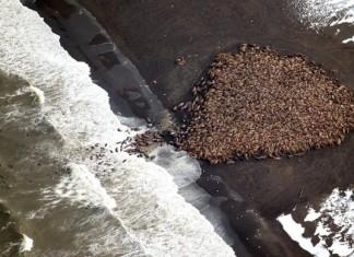 Alarming: 35'000 walrus stranded on Alaska Point Lay because of global warming and sea ice loss. Photo, NOAA, 35000 walrus alaska, 35000 walrus alaska onshore, 35000 walrus alaska washed ashore, 35000 walrus alaska stranded, global warming consequences, Consequence of global warming: 35,000 walrus forced to go on land because of melting sea ice. Photo NOAA