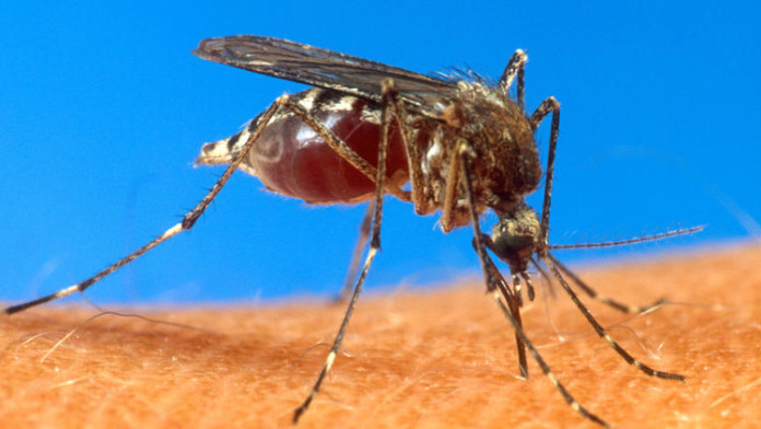 yellow fever mosquito LA, yellow fever mosquito california, yellow fever mosquito los angeles, yellow fever mosquito usa, dengue california us, chikungunya california us, yellow fever california us, A yellow fever mosquito by U.S. Department of Agriculture