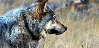 First Grey Wolf Sighting at Grand Canyon Since 1940, Grey Wolf grand canyon, Grey Wolf arizona november 2014, A gray wolf was recently photographed on the north rim of the Grand Canyon in Arizona, grey wolf grand canyon photo, grey wolf grand canyon photo, grey wolf since 1940 in grand canyon photo