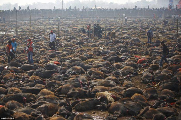 Gadhimai Festival, Gadhimai Festival animal sacrifice, Gadhimai Festival animal sacrifice video, Gadhimai Festival animal sacrifice pictures